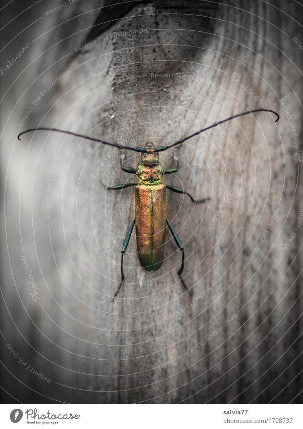 auf dem Holzweg Umwelt Natur Tier Wildtier Käfer Flügel Fühler Insekt Moschusbock 1 krabbeln exotisch glänzend gold grau ästhetisch Bewegung einzigartig