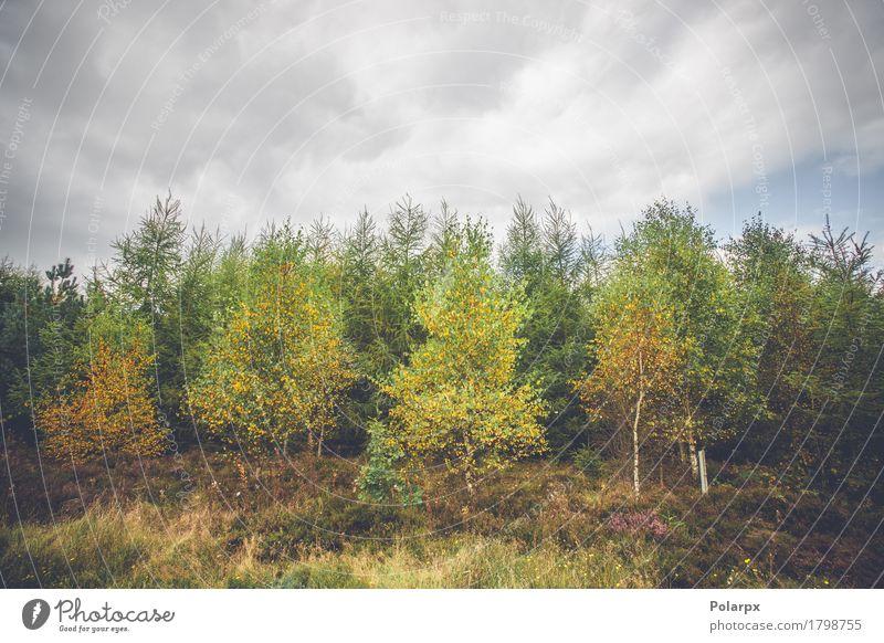 Birken in herbstlichen Farben schön Umwelt Natur Landschaft Pflanze Himmel Herbst Baum Blatt Park Wald Wege & Pfade Wachstum hell natürlich gelb gold grün rot