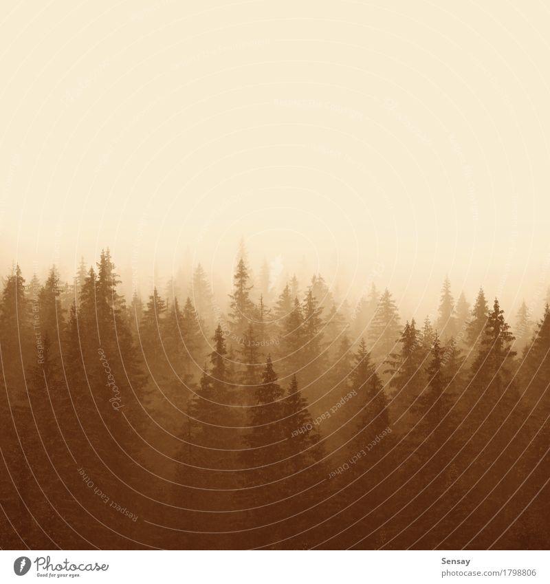 Kiefernwald in Bergen mit Nebel Natur Sommer Baum Landschaft Einsamkeit Wald Berge u. Gebirge Umwelt gelb Traurigkeit natürlich Textfreiraum Jahreszeiten Dunst