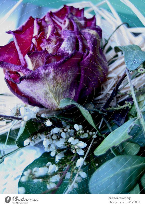 welke Schönheit schön Blume grün blau Blatt kalt Herbst Traurigkeit Rose violett Vergänglichkeit stachelig Grünpflanze