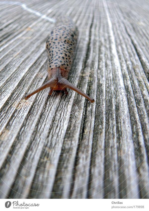 Die Leichtigkeit des Schleims:Tigerschnegel Natur Sommer schwarz Tier Holz grau braun weich Wildtier Ekel Makroaufnahme Schnecke Fühler krabbeln langsam Fährte