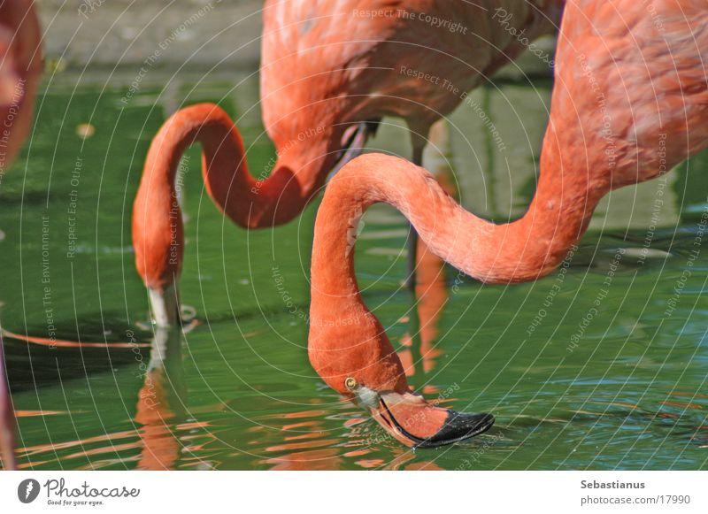 trinkende Flamingos rosa Vogel langer Hals grünes Wasser (bah)