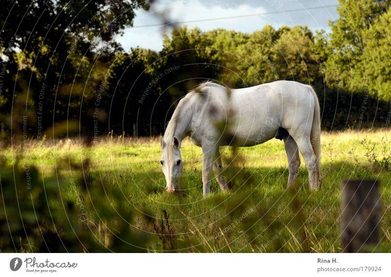 Einfach nur ein Pferd Natur weiß grün Pflanze Sommer Tier Erholung Wiese Landschaft Glück Zufriedenheit ästhetisch authentisch 1 Weide