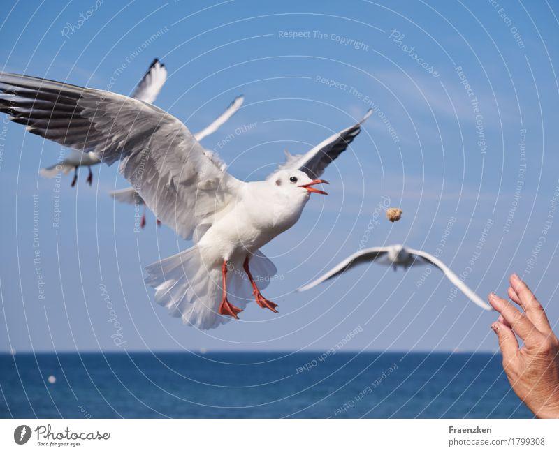 Möwe schnappt Brot in der Luft Hand Natur Wolkenloser Himmel Sommer Tier Vogel Flügel 1 Essen fliegen Jagd lecker Appetit & Hunger gefräßig sea Lachmöwe wing