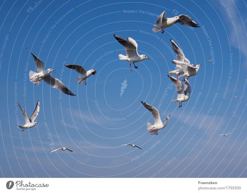 Möwen kämpfen um etwas Brot Natur Tier Luft Wolkenloser Himmel Sommer Schönes Wetter Vogel Flügel Schwarm Essen Appetit & Hunger gefräßig animal bird eye fed