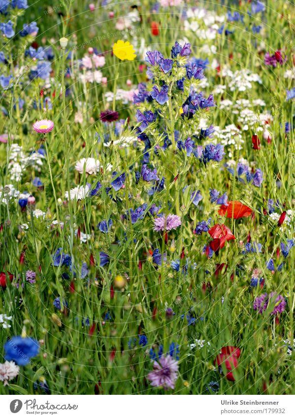Wildblumenmischung Natur blau weiß grün rot Pflanze Sommer Blume Umwelt gelb Wiese Wege & Pfade rosa natürlich Wachstum ästhetisch