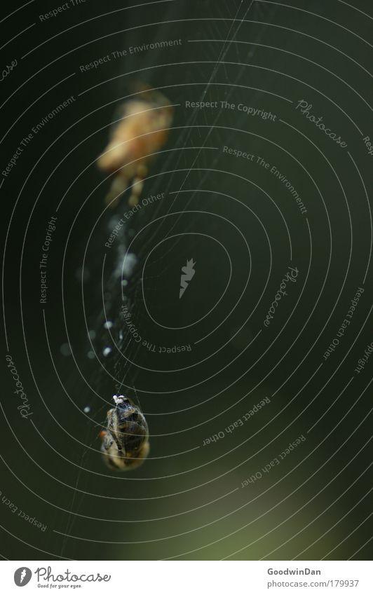 hoffentlich nicht wieder Kartoffeln als Beilage Tier Umwelt Erfolg bedrohlich fangen Biene Jagd Spinne Insekt Spinnennetz Beute listig Beutejagd