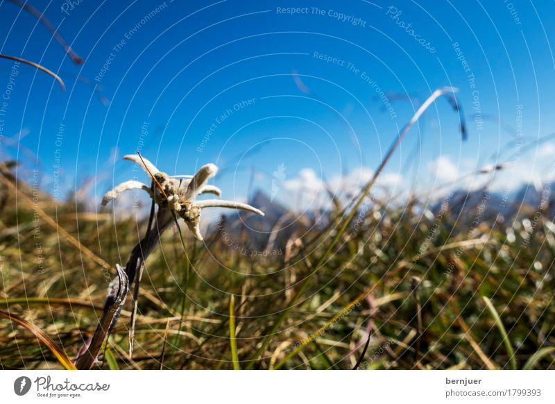 Edelweiß Natur Pflanze blau Blume Berge u. Gebirge Herbst Gras außergewöhnlich wild wandern authentisch einzeln Alpen Naturschutzgebiet
