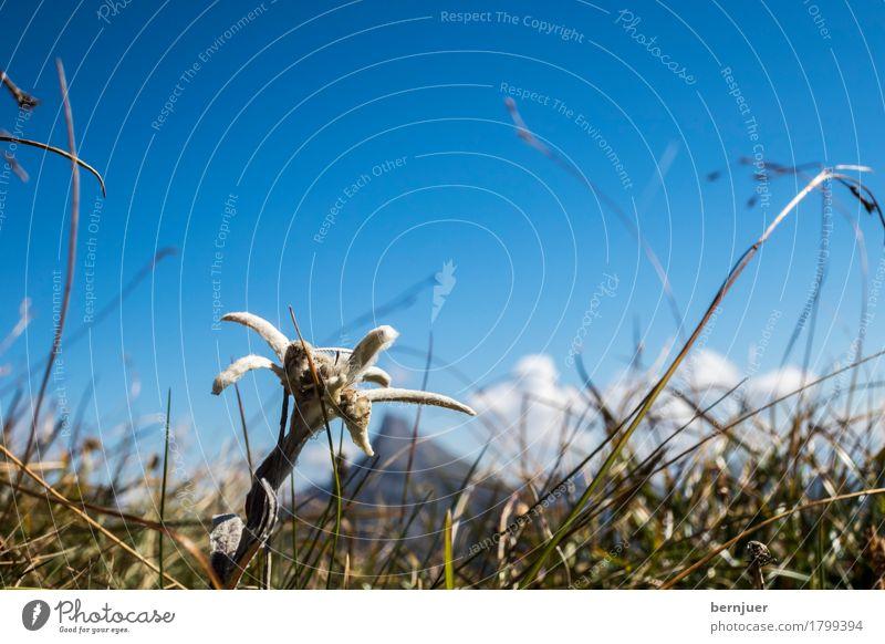 Edelweiß Himmel Natur Pflanze Sommer Blume Tier Wolken Umwelt Blüte Wiese Gras außergewöhnlich Luft Schönes Wetter einzeln Gipfel