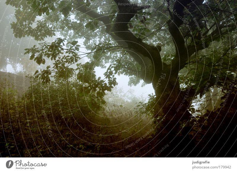 Morgens Farbfoto Außenaufnahme Menschenleer Morgendämmerung Umwelt Natur Landschaft Pflanze Nebel Baum Gras Wald dunkel gruselig natürlich wild Stimmung