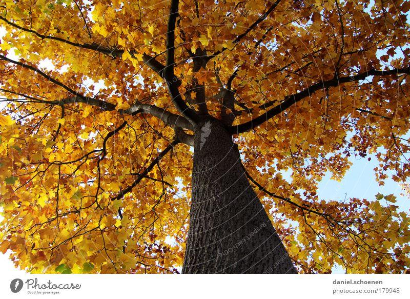 gelber Herbst von unten Natur Baum Pflanze Farbe Wald Park Umwelt gold Zeit Vergänglichkeit Schönes Wetter