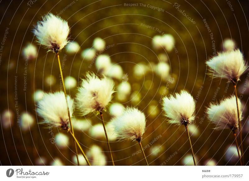 Wolle am Stiel Umwelt Natur Landschaft Pflanze Wetter Gras Wiese Wachstum weich Wollgras Wollgraswiese Farbfoto Nahaufnahme Menschenleer Textfreiraum oben Tag