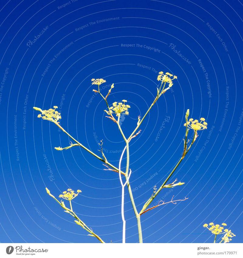 Ein letzter Gruß an den Sommer Natur blau grün Pflanze Blume gelb Wärme Blüte hell Luft Stimmung Sträucher Schönes Wetter Stengel Wolkenloser Himmel
