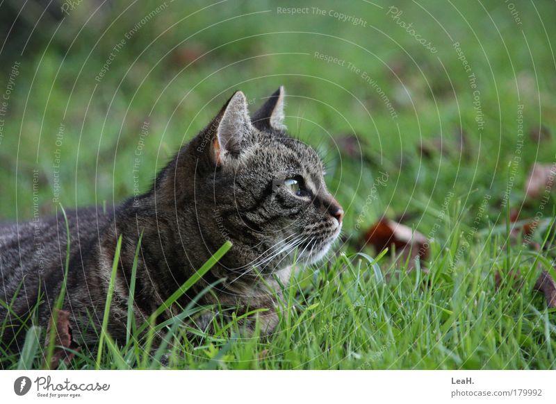 Katze im Gras Haustier Tiergesicht 1 fangen liegen Blick warten Freundlichkeit niedlich Farbfoto Außenaufnahme Abend Starke Tiefenschärfe Zentralperspektive