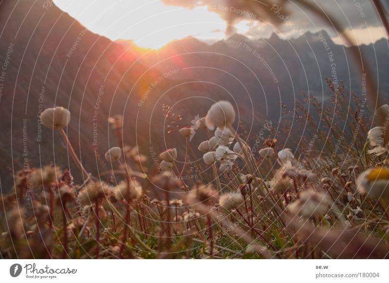 Sonnenanbeter Natur schön Sonne Blume Pflanze Sommer ruhig Blüte Gras Berge u. Gebirge träumen Traurigkeit Stimmung Romantik Schutz Vertrauen