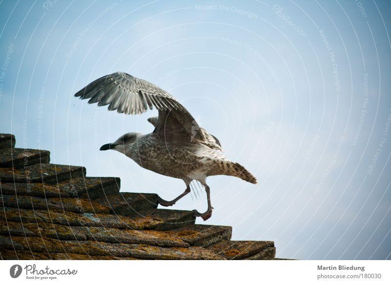 sea gul upstairs Himmel blau weiß Sommer Tier Umwelt Bewegung Luft braun gehen laufen Wildtier Dach sportlich Möwe silber