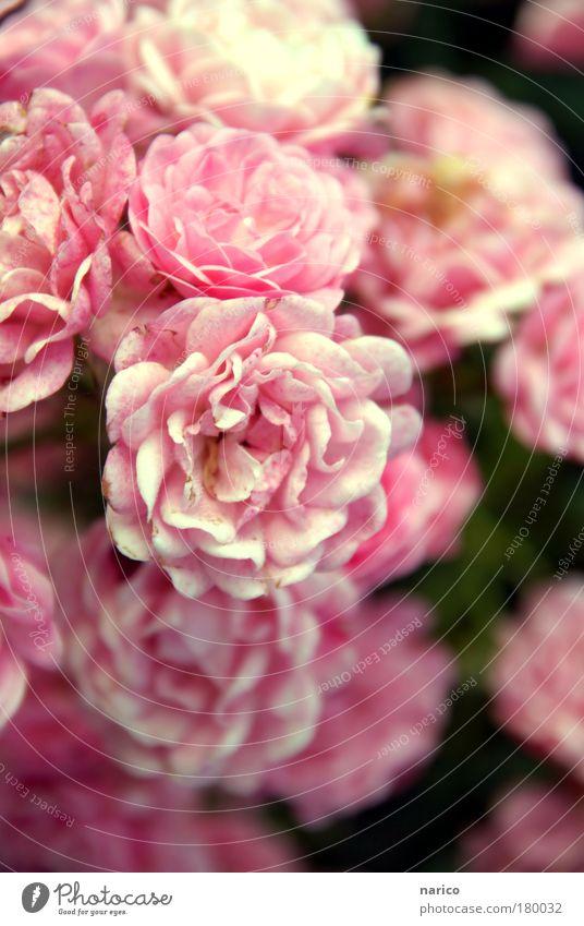 ignored beauty Pflanze Sommer Herbst Schönes Wetter Blume Rose Blatt Blüte Topfpflanze schön rosa Stimmung Romantik Duft Idylle Inspiration Farbfoto