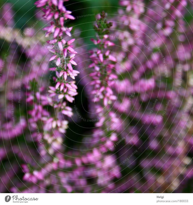 lila Herbst.... Natur schön Blume grün Pflanze Farbe Blüte Park klein rosa Perspektive ästhetisch Wachstum violett Vergänglichkeit