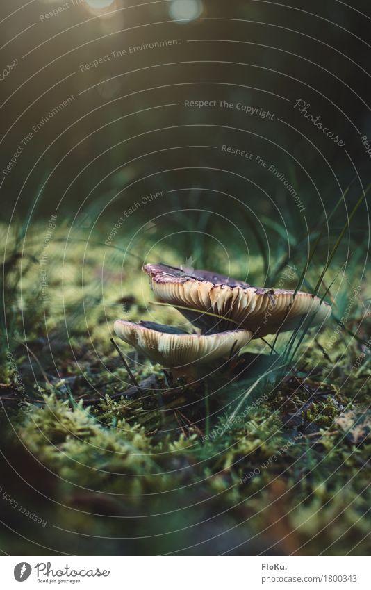 Kleine Welten (Polen Edition) Umwelt Natur Pflanze Erde Herbst Schönes Wetter Gras Wiese Wald natürlich grün Stimmung Pilz Waldboden Moos klein Miniatur Lamelle