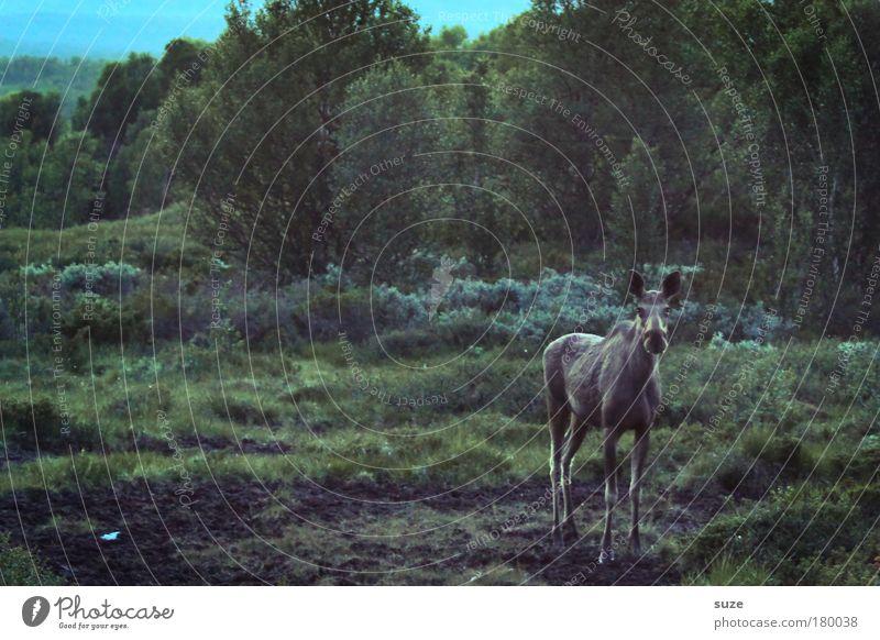 Elchkuh Natur Ferien & Urlaub & Reisen grün Pflanze Landschaft Tier Wald Umwelt Wiese Wildtier warten Tourismus wandern Ausflug Abenteuer Hügel