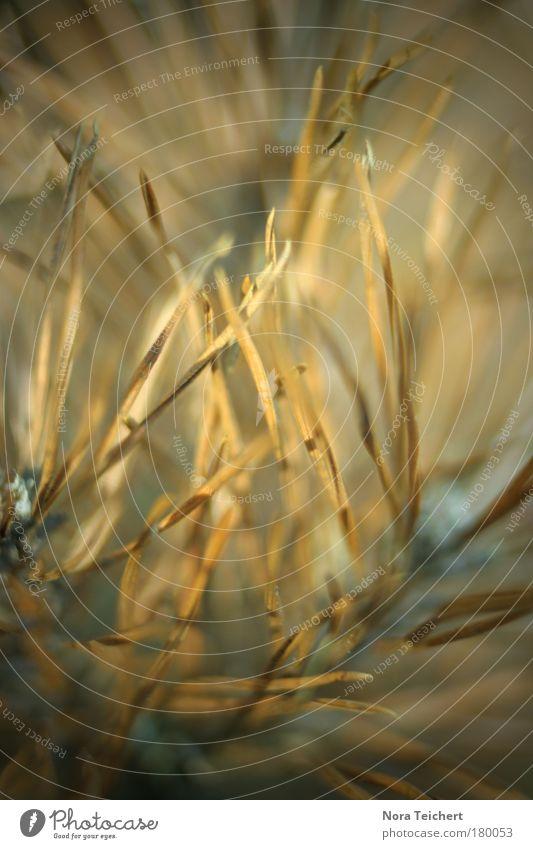 Goldnadeln Farbfoto Gedeckte Farben Außenaufnahme Nahaufnahme Detailaufnahme Makroaufnahme Experiment abstrakt Menschenleer Abend Schatten Unschärfe