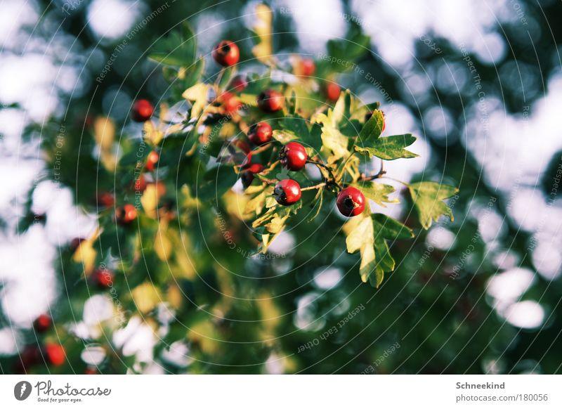 lecker Beeren Natur schön Pflanze rot Sommer Blatt Ernährung Herbst Blüte Park Lebensmittel Umwelt gefährlich Sträucher Ast