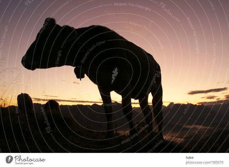 Rindvieh am Morgen Außenaufnahme Morgendämmerung Silhouette Sonnenaufgang Sonnenuntergang Weitwinkel Tierporträt Berge u. Gebirge Natur Landschaft Horizont