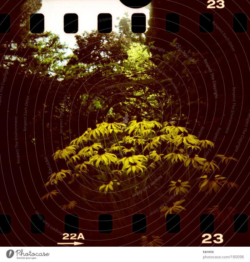 Alles Gute zum Geburtstag Secretgarden! Natur Pflanze Blüte Garten Blumenstrauß gelb schwarz Stimmung Fröhlichkeit dunkel Filmperforation Farbfoto Außenaufnahme