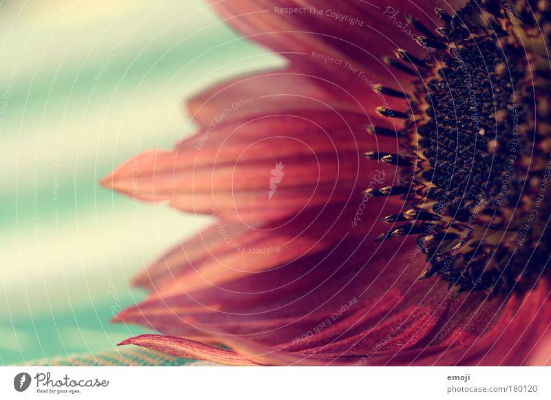 die letzten Blüten.. Natur Pflanze rot Sommer Herbst Wärme zart natürlich türkis sanft Pollen verblüht Blütenblatt