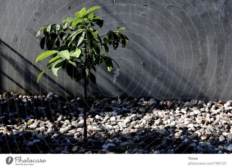 La rebelión del árbol pequeño Natur grün Baum Pflanze Sommer Einsamkeit Herbst kalt Umwelt Wand grau klein Traurigkeit Mauer Kraft Wachstum