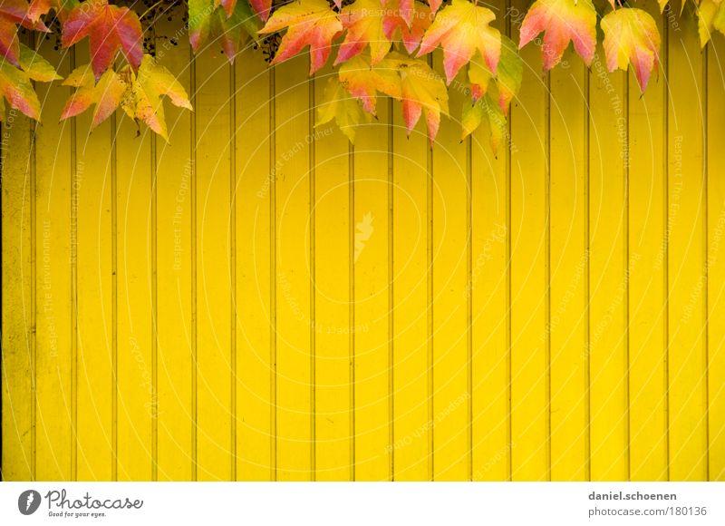 gelber Herbst vertikal rot Blatt Wand Holz Mauer Fassade Vergänglichkeit mehrfarbig Efeu