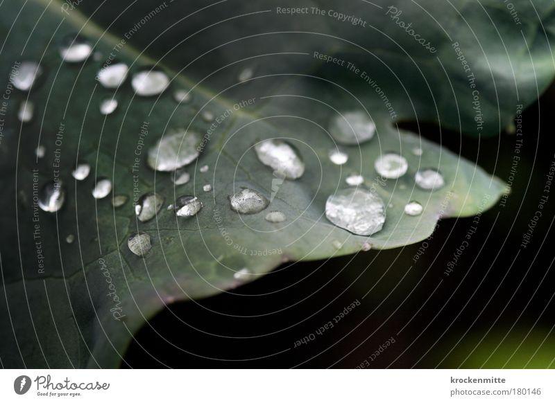 Schmuck der Natur Farbfoto Außenaufnahme Nahaufnahme Makroaufnahme Morgen Morgendämmerung Umwelt Pflanze Wasser Wassertropfen Blatt Grünpflanze Nutzpflanze Park