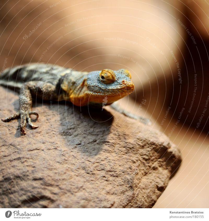 im Fokus Natur blau Auge Tier Kopf Stein braun orange warten sitzen beobachten Zoo exotisch Reptil Krallen