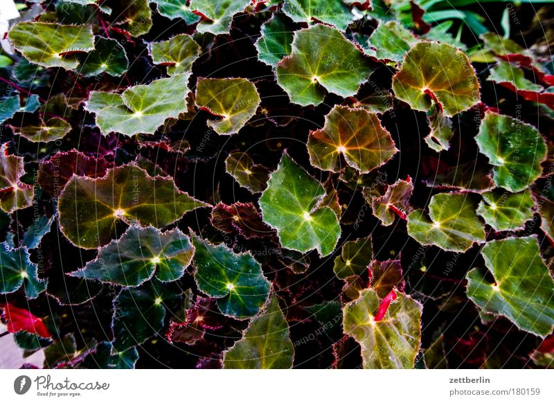 Begonien Natur Botanischer Garten Pflanze Grünpflanze Blatt Blattgrün Wachstum Sommer Sauerstoff Park Textfreiraum