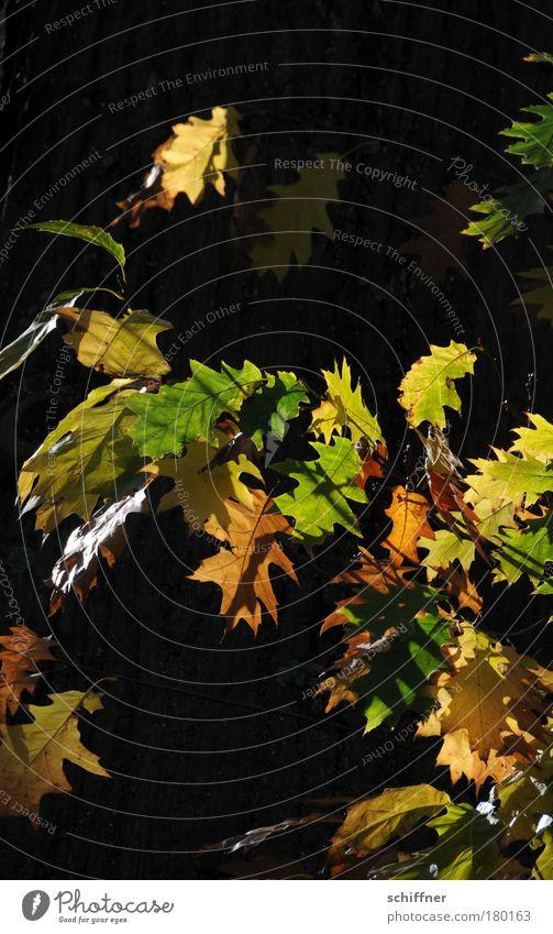 Der Herbst kommt Tag Sonnenlicht Umwelt Natur Pflanze Baum Blatt alt Herbstlaub Laubbaum Vergänglichkeit Jahreszeiten