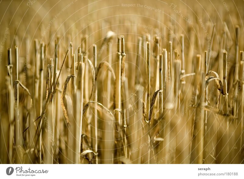 Strohhalme Getreide Landschaft Wachstum Botanik ökologisch Lebensmittel geschnitten Weizen pflanzlich Bartstoppel herbstlich Müsli Stoppelfeld