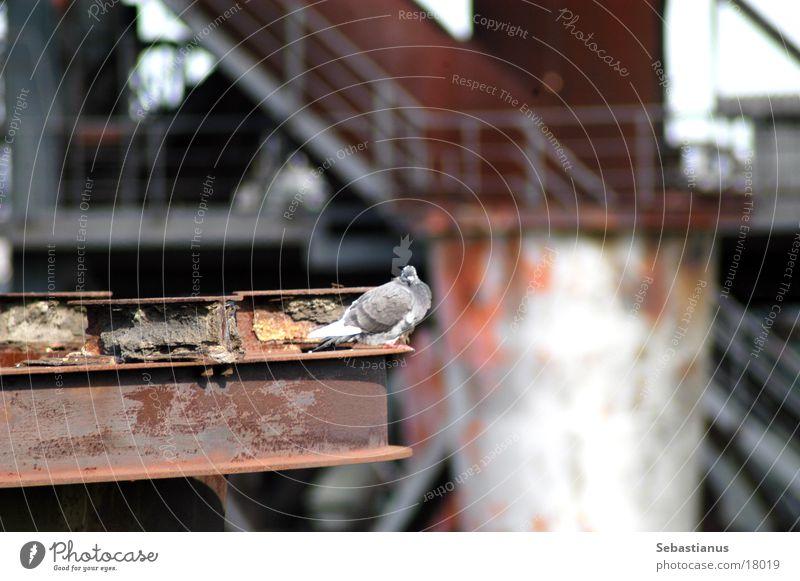 Lieber ne Taube... Vogel Ruhrgebiet Taube Eisen Duisburg Produktion Schmelzofen Industriekultur