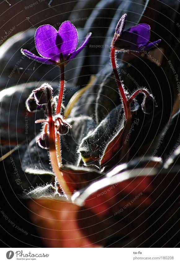 Veilchen Pflanze Blatt Blüte violett Topfpflanze Usambaraveilchen