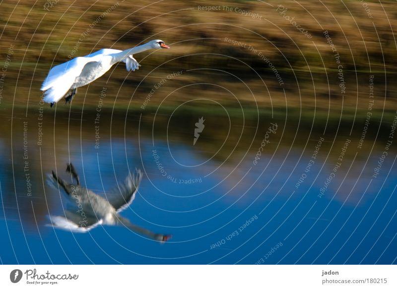 Anflug Wasser schön blau Tier Bewegung Kraft fliegen ästhetisch Fluss Flügel beobachten fantastisch Schweben Spiegelbild Schwan
