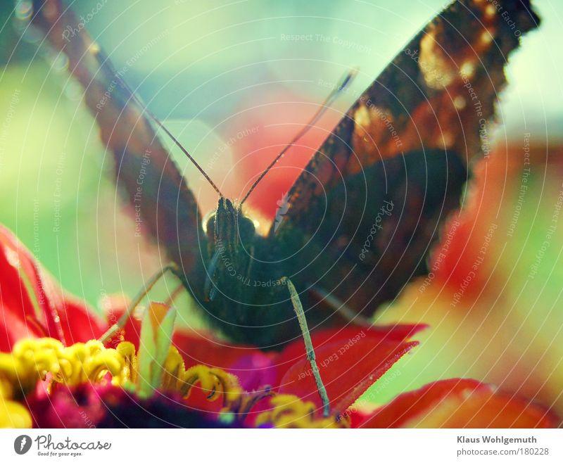 Rüsseltier Natur schön rot Blume schwarz Tier Blüte fliegen Schmetterling Fressen mehrfarbig