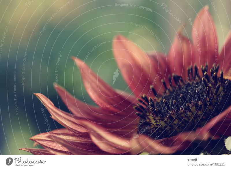 zarte Seite Farbfoto Außenaufnahme Nahaufnahme Detailaufnahme Makroaufnahme Textfreiraum links Textfreiraum oben Schwache Tiefenschärfe Sommer Natur Pflanze