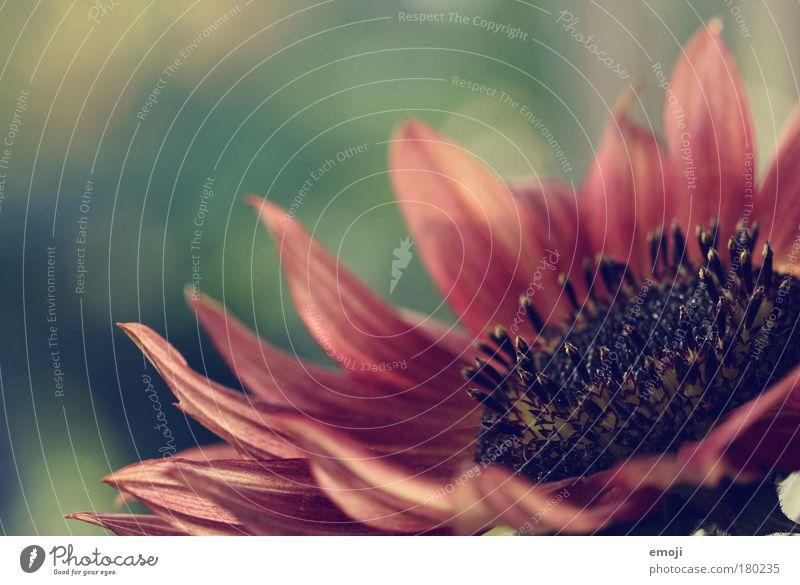 zarte Seite Natur grün Pflanze rot Sommer Herbst Blüte rosa natürlich sanft Pollen verblüht Blütenblatt