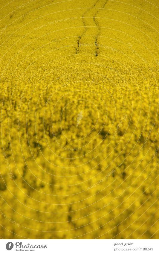 sprit statt brot Farbfoto Außenaufnahme Menschenleer Textfreiraum oben Tag Licht Unschärfe Lebensmittel Öl Pflanze Tier Blume Grünpflanze sparsam Raps Feld