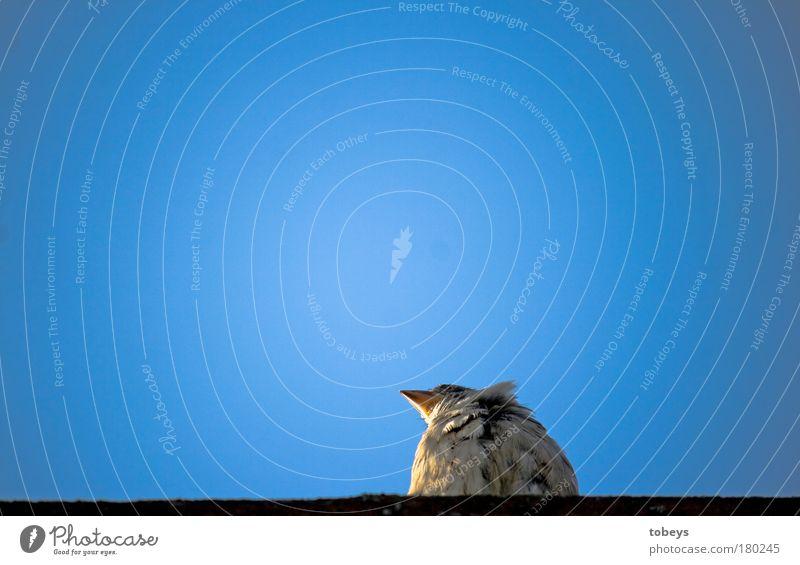 Vogelperspektive blau Einsamkeit Tier Erholung Ferne fliegen sitzen Schönes Wetter Feder beobachten Pause einfach Wolkenloser Himmel gemütlich Schnabel