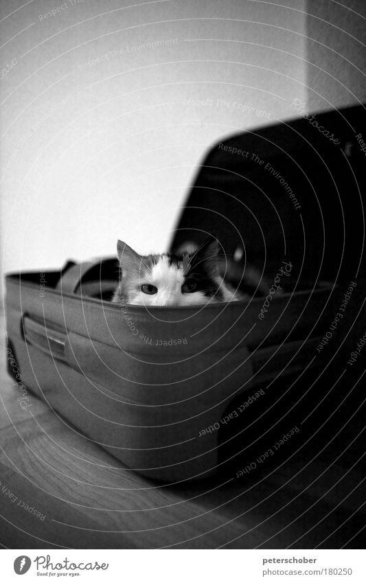 Kofferkatze Tier Erholung Spielen Traurigkeit Katze lustig Ausflug Behaarung Tourismus liegen beobachten Sehnsucht Neugier Flughafen Kasten niedlich