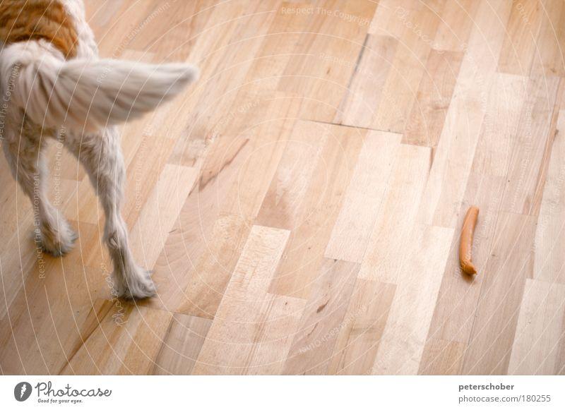 Wurstig rot Tier Hund Zufriedenheit braun Coolness Häusliches Leben beobachten Gelassenheit Neugier Jagd Wohnzimmer Langeweile Fressen Schwanz Mittagessen