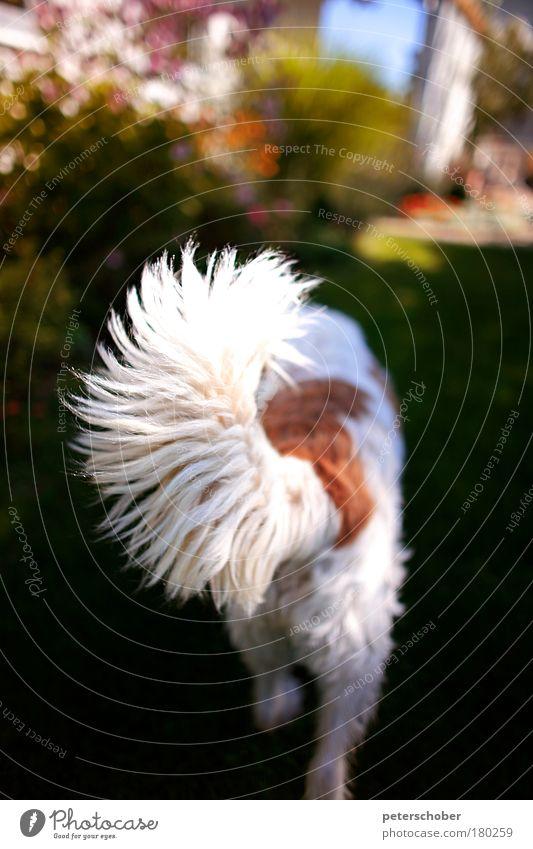 Schwanzflosse weiß rot Sommer Tier Spielen Garten Hund laufen fest Fell Neugier Blühend Jagd Appetit & Hunger Terrasse Erwartung