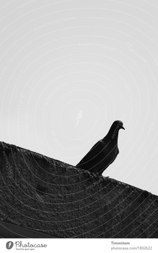 Wenn alles schwer scheint. Himmel Fassade Tier Vogel Taube 1 Beton Blick sitzen dunkel grau schwarz Gefühle Sorge Traurigkeit Krallen Schwarzweißfoto