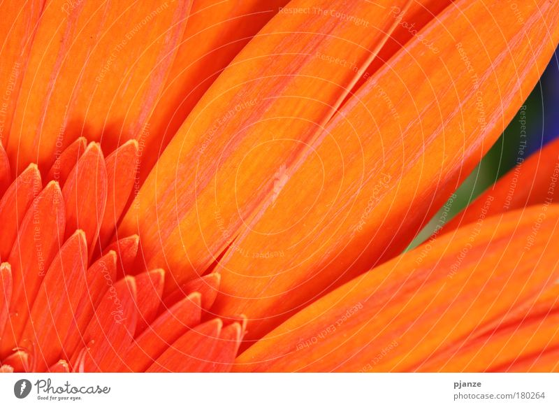 Erinnerung Natur schön Blume Pflanze Sommer ruhig Blüte Glück orange Design elegant ästhetisch Dekoration & Verzierung natürlich Duft Blütenblatt