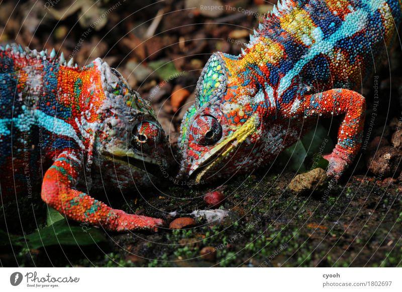 Kampf der Titanen. Natur Tier wild maskulin Kraft Erfolg verrückt Pause nah Wut exotisch Zoo anstrengen Aggression kämpfen Ausdauer
